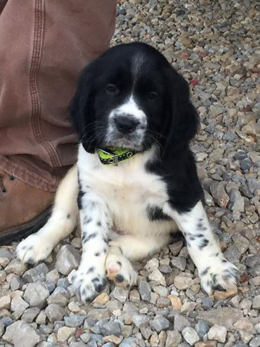 Pups for Sale – Bear Creek Outdoors